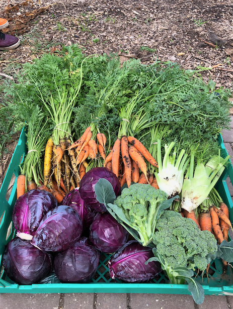 large basket of freshly harvested carrots, cabbage, broccoli, and fennel