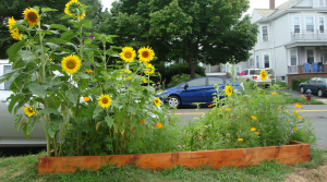 Victory Garden raised bed filled with sunflowers